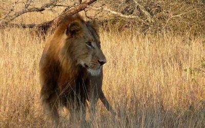 So bleiben Sie leistungsfähig, Teil 2 – der Löwe